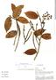 Pseudolmedia laevis, Peru, A. H. Gentry 29237, F