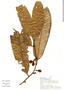 Virola obovata Ducke, Peru, A. H. Gentry 20448, F