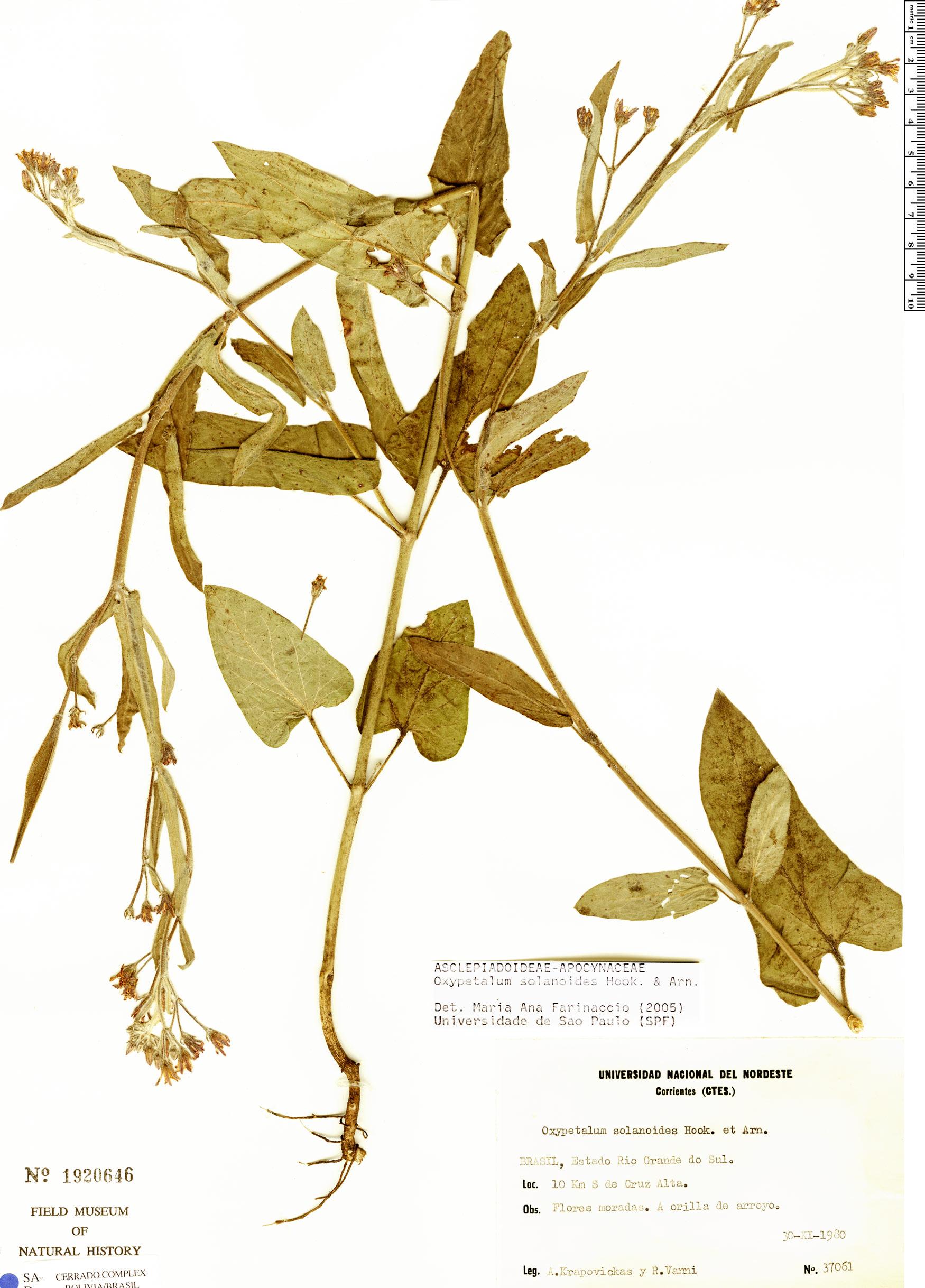 Specimen: Oxypetalum solanoides