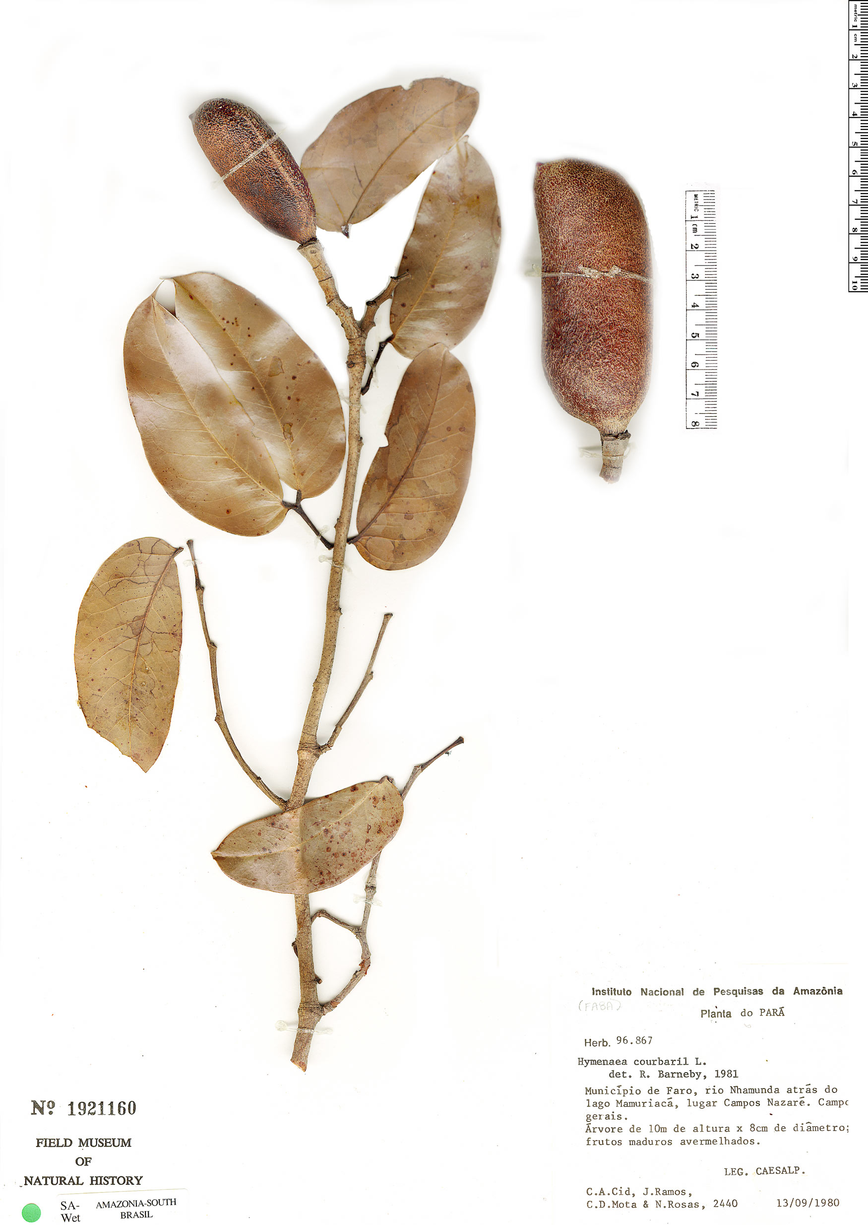 Specimen: Hymenaea courbaril
