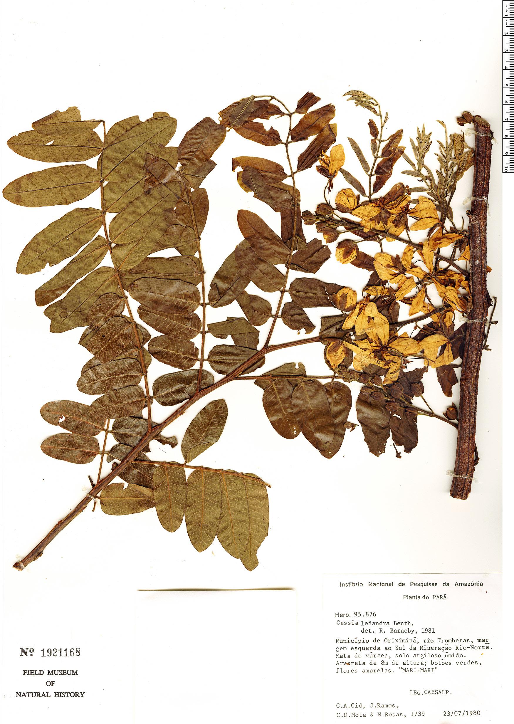 Specimen: Cassia leiandra
