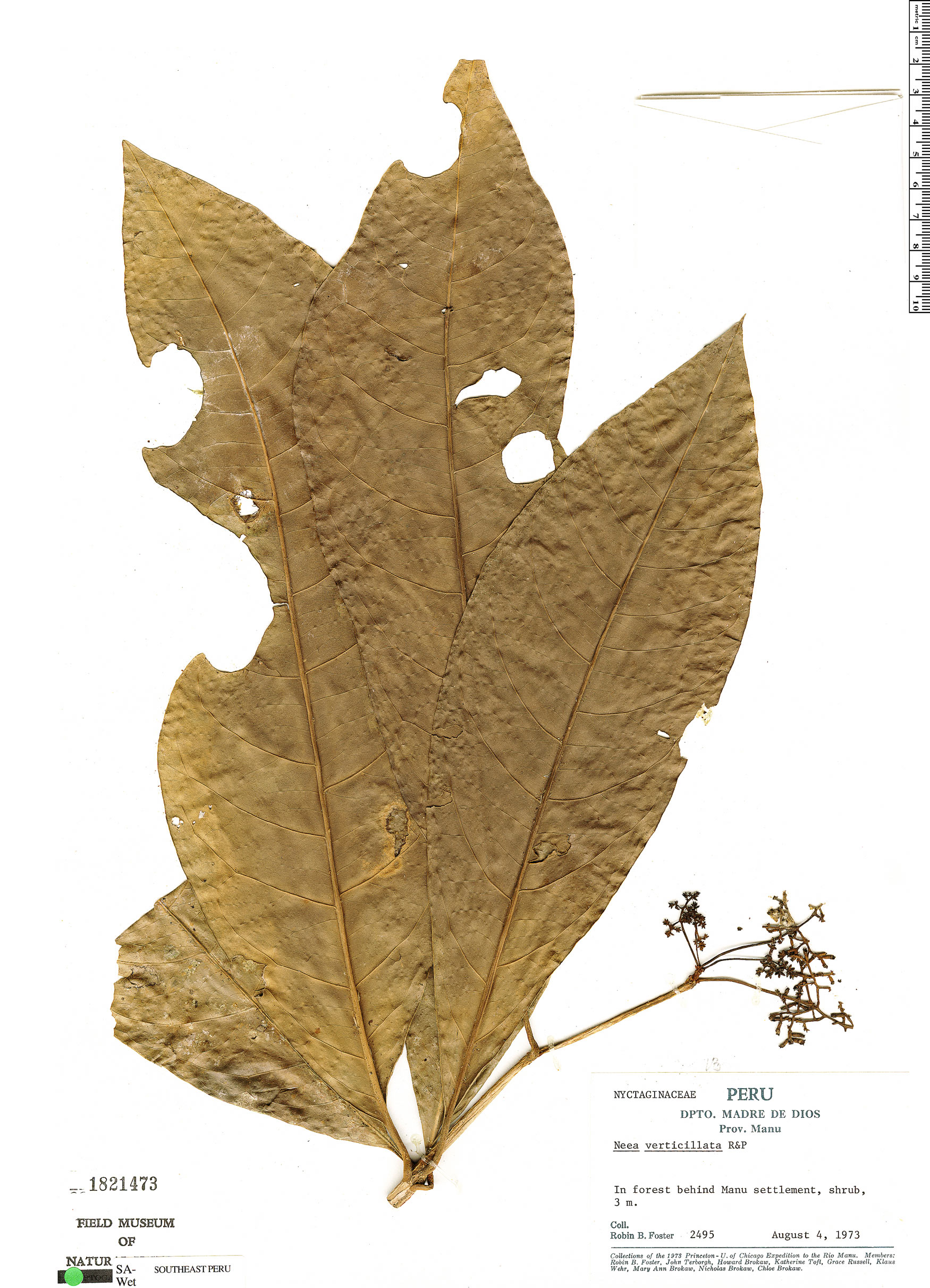 Espécime: Neea verticillata
