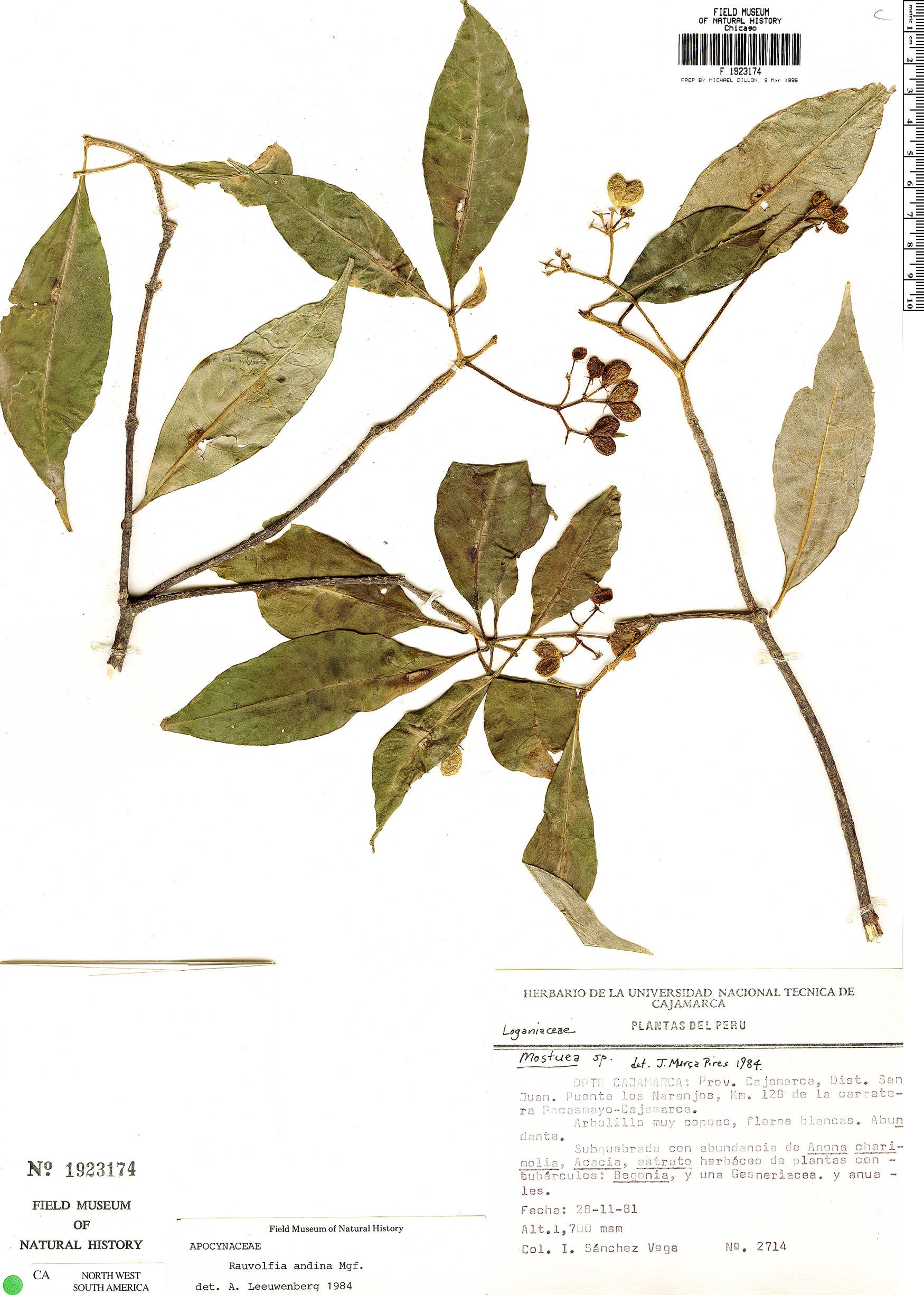 Specimen: Rauvolfia andina