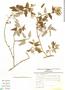 Salvia cuspidata Ruíz & Pav., Peru, I. M. Sánchez Vega 2806, F