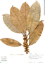 Ficus americana subsp. guianensis (Desv.) C. C. Berg, Peru, J. Revilla 966, F