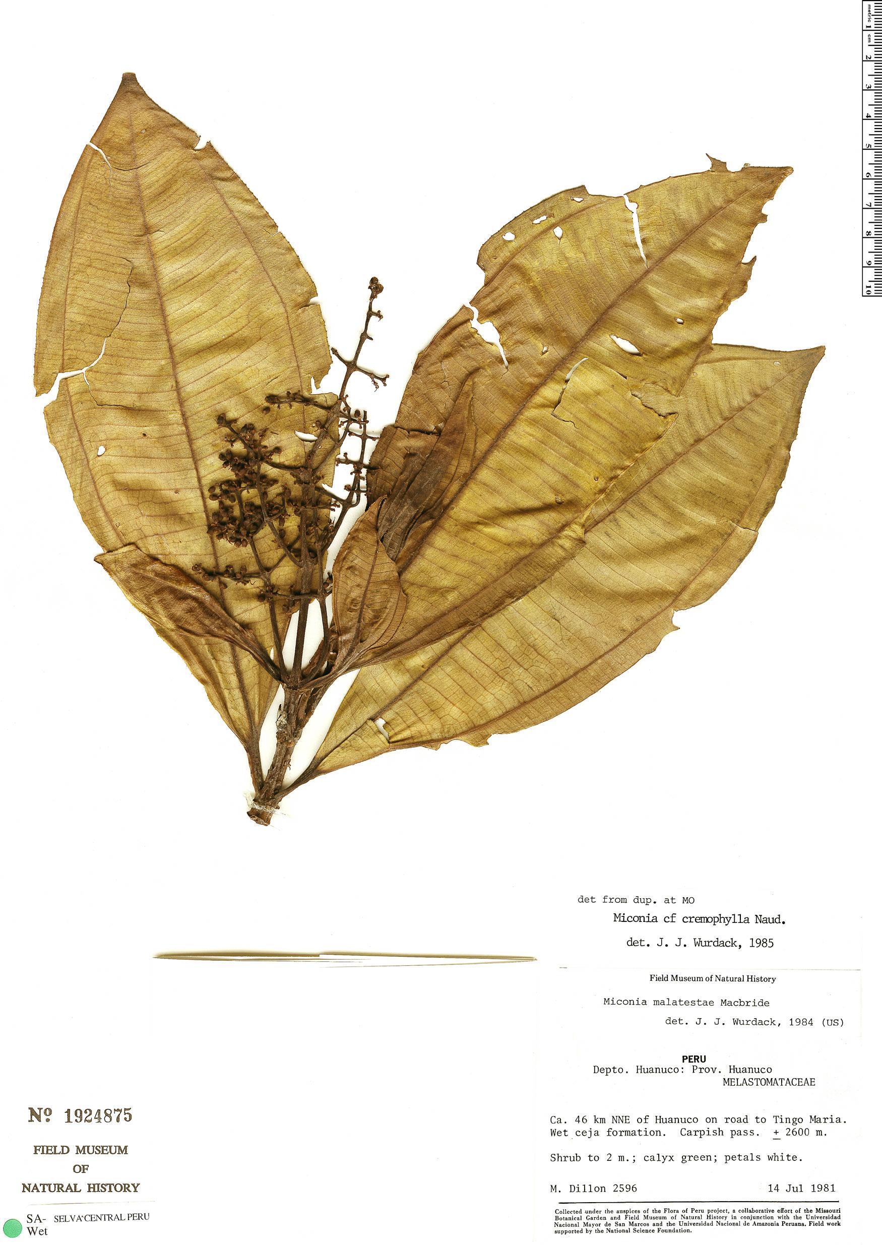 Specimen: Miconia cremophylla