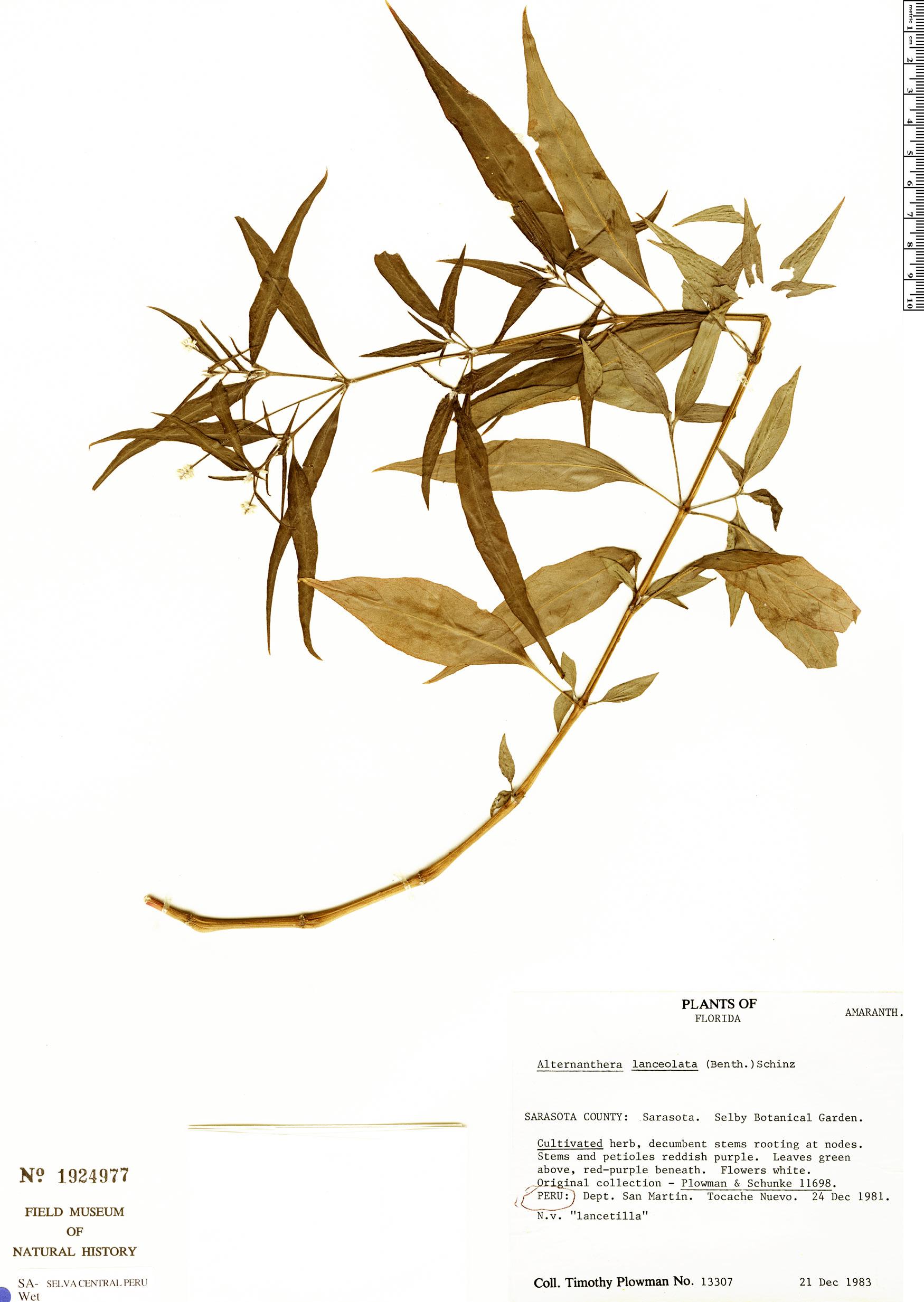 Specimen: Alternanthera lanceolata