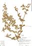 Randia aculeata L., Costa Rica, J. L. Luteyn 565, F