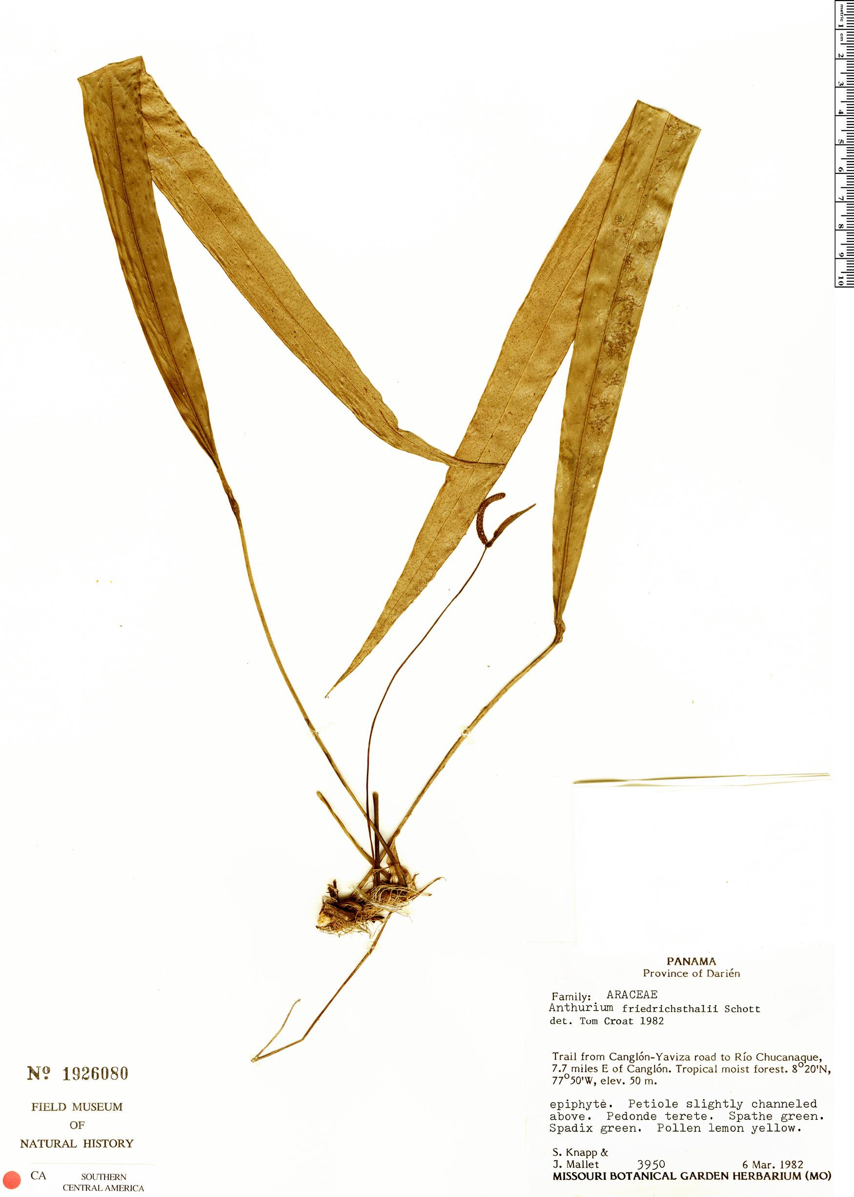 Specimen: Anthurium friedrichsthalii