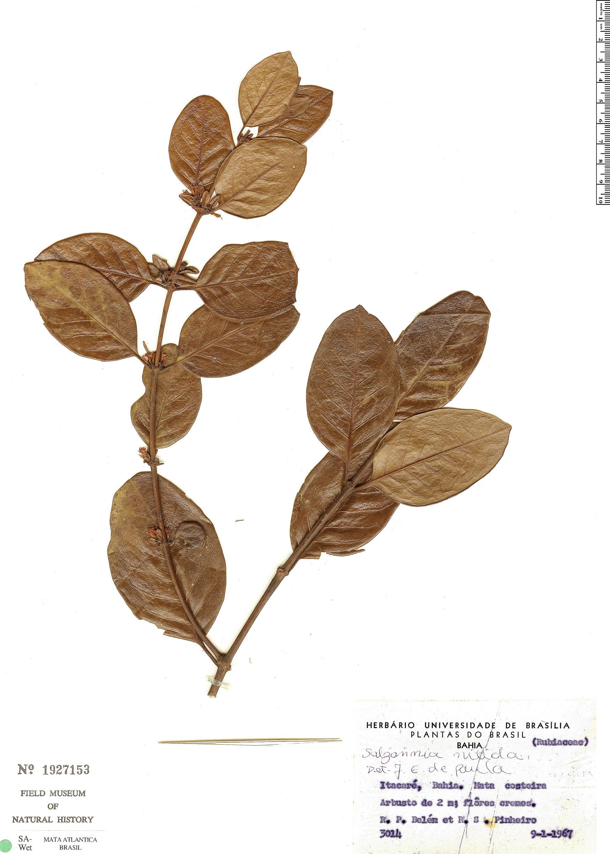 Espécimen: Salzmannia nitida