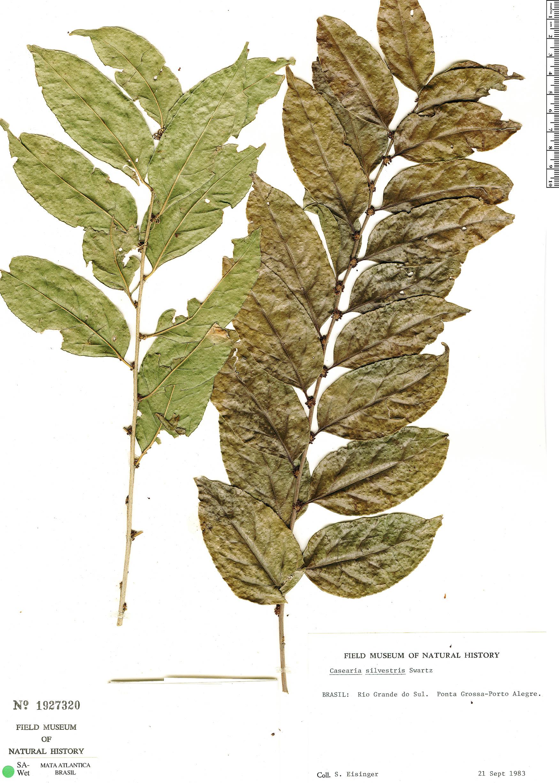 Specimen: Casearia sylvestris