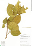 Croton billbergianus Müll. Arg., Panama, J. Miller 1032, F