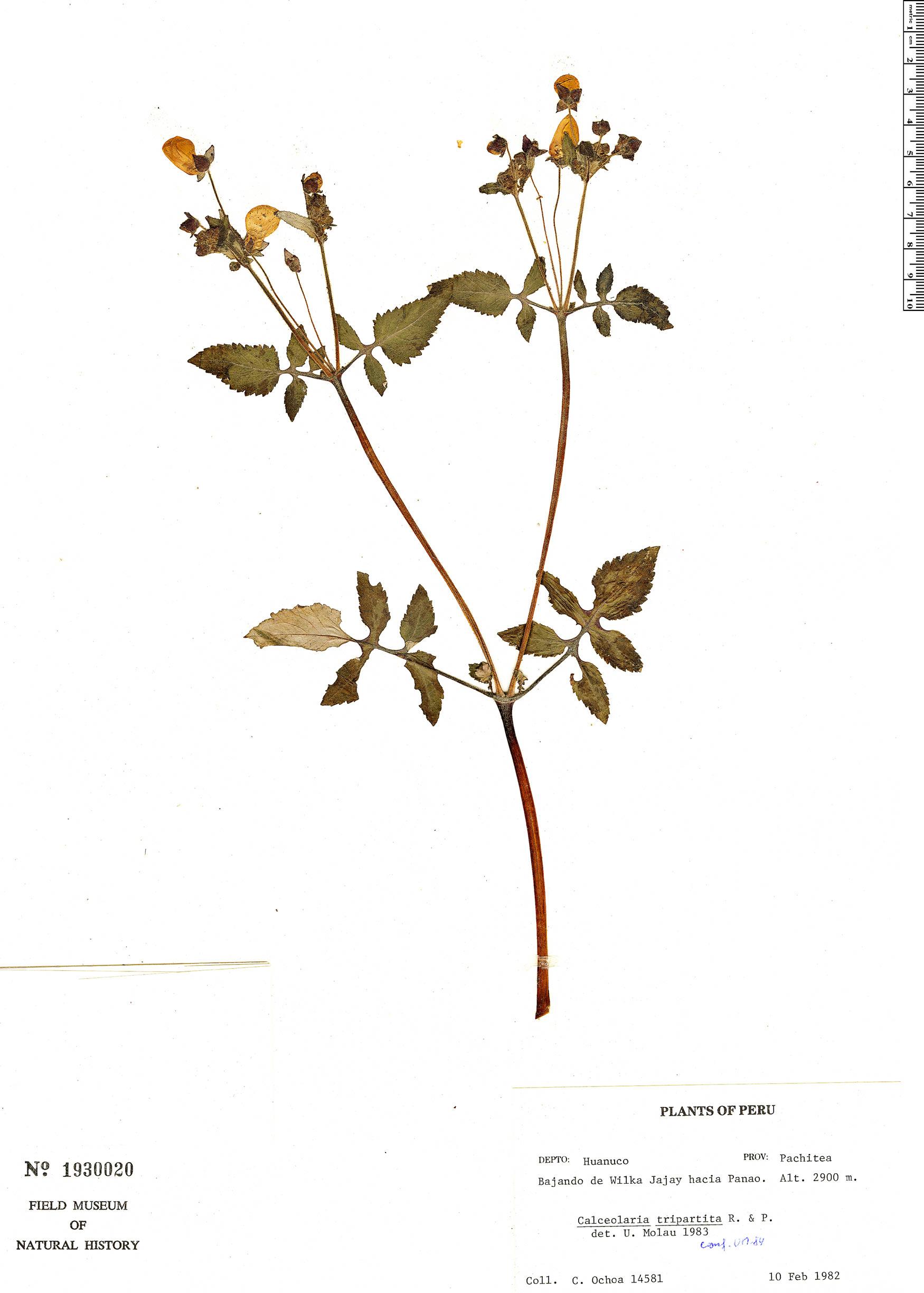 Specimen: Calceolaria tripartita
