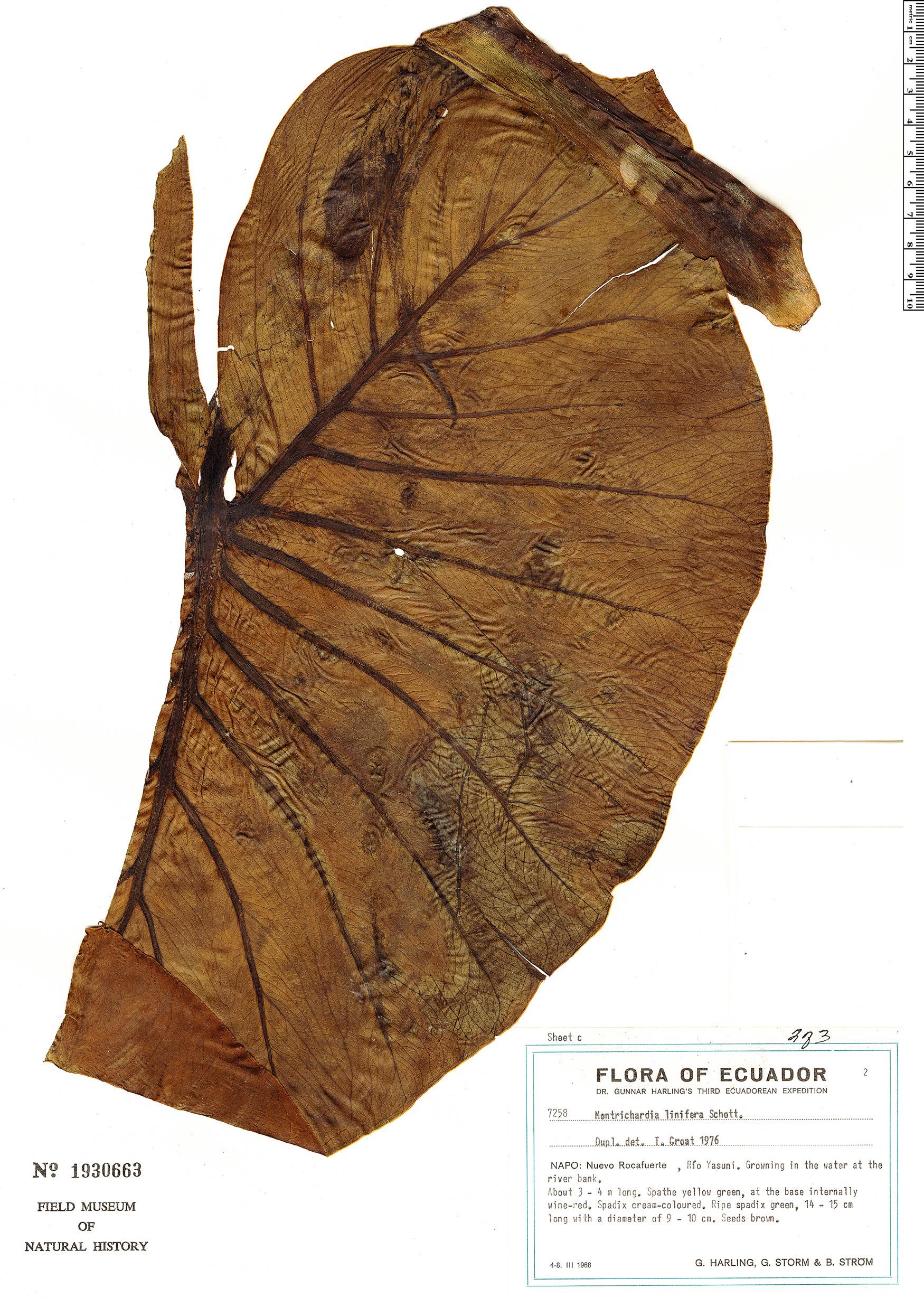 Specimen: Montrichardia linifera