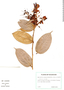 Cavendishia tarapotana (Meisn.) Benth. & Hook. f., Ecuador, H. Lugo S. 5064, F