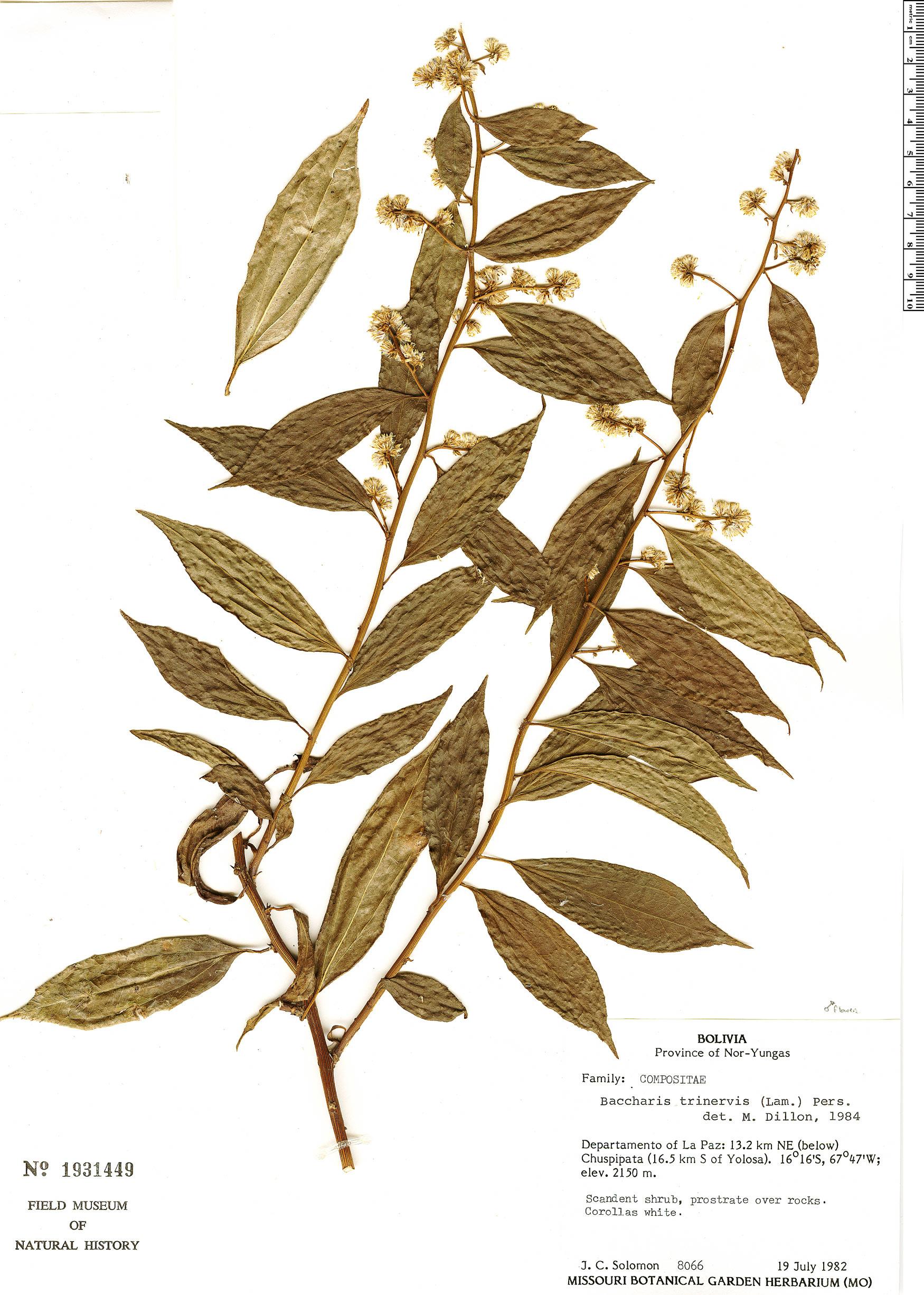 Espécimen: Baccharis trinervis
