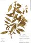 Baccharis trinervis Pers., Bolivia, J. C. Solomon 8066, F