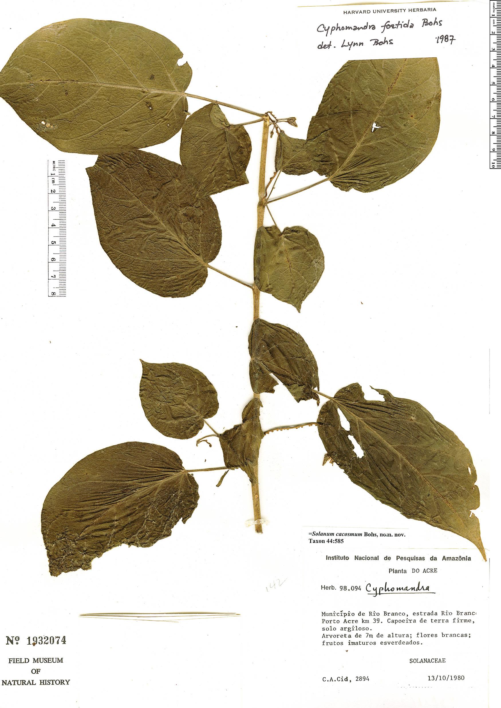 Specimen: Solanum cacosmum