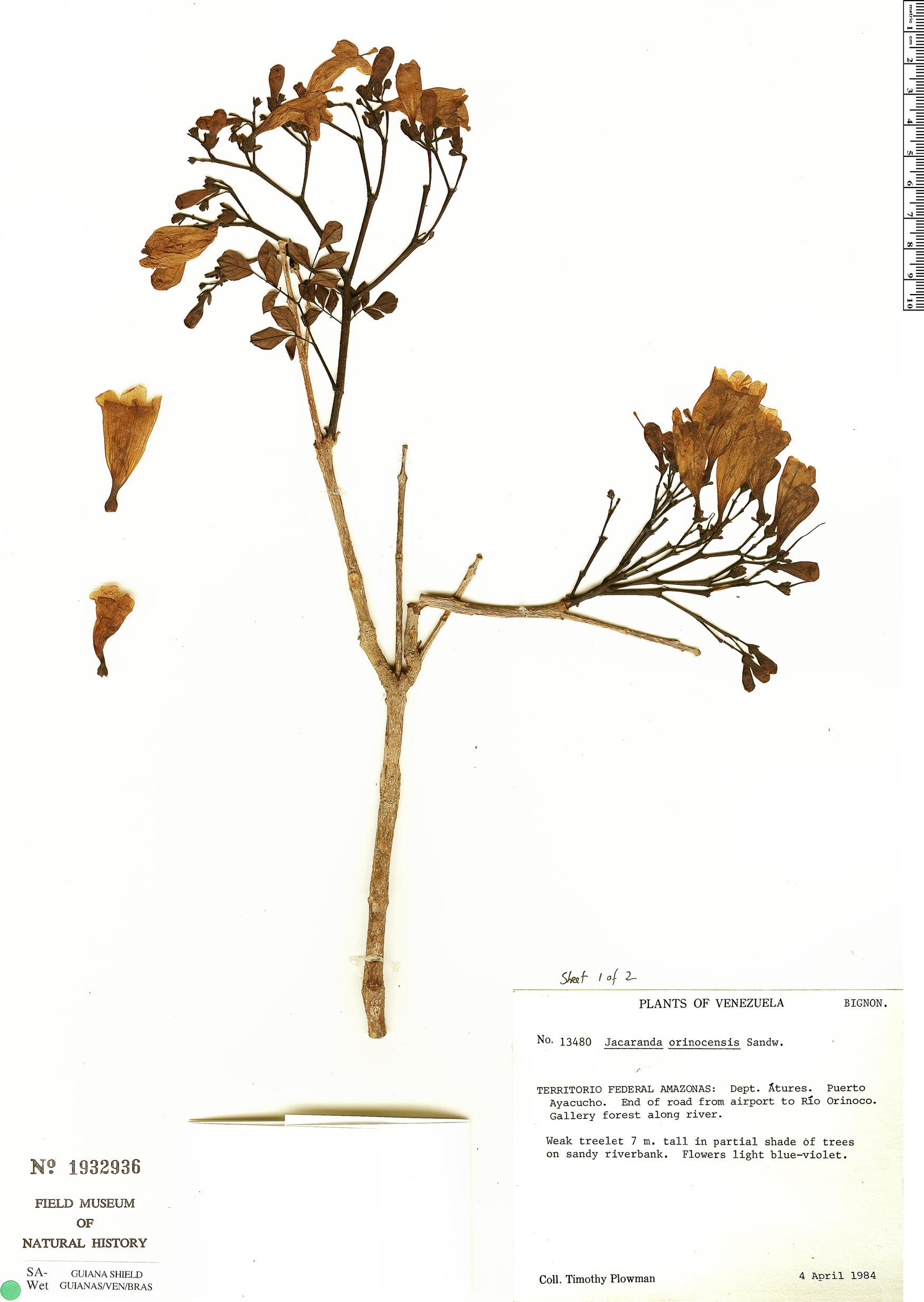 Specimen: Jacaranda orinocensis