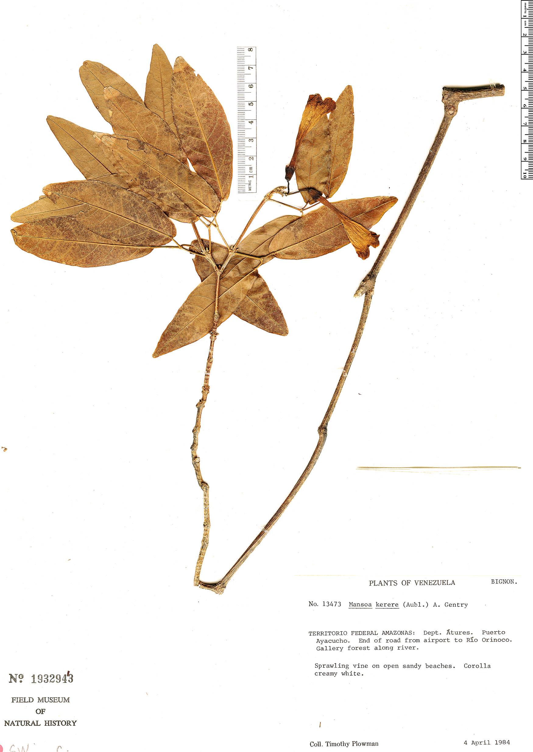Specimen: Pachyptera kerere