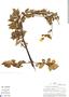 Calceolaria chelidonioides Kunth, Peru, M. O. Dillon 3183, F