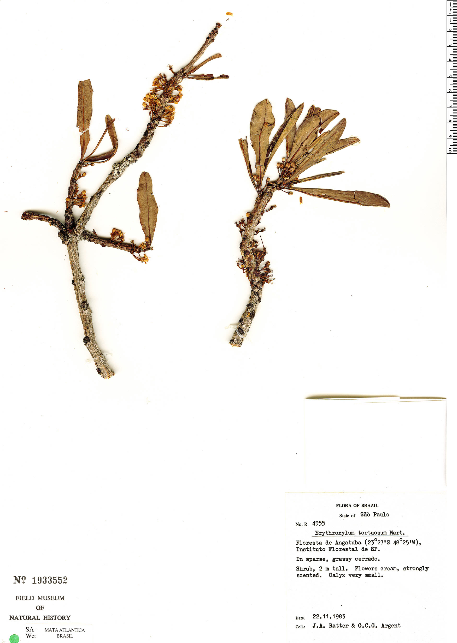 Specimen: Erythroxylum tortuosum