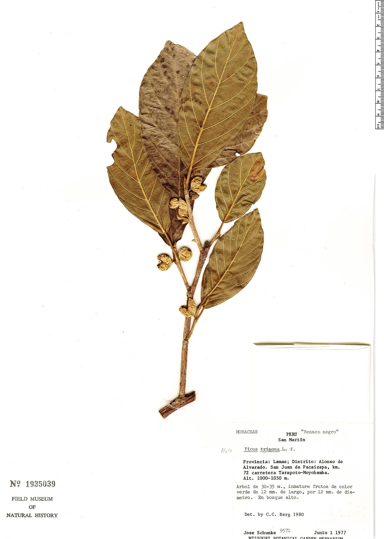 Specimen: Ficus trigona