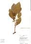 Ficus trigona L. f., Peru, J. Schunke Vigo 9571, F