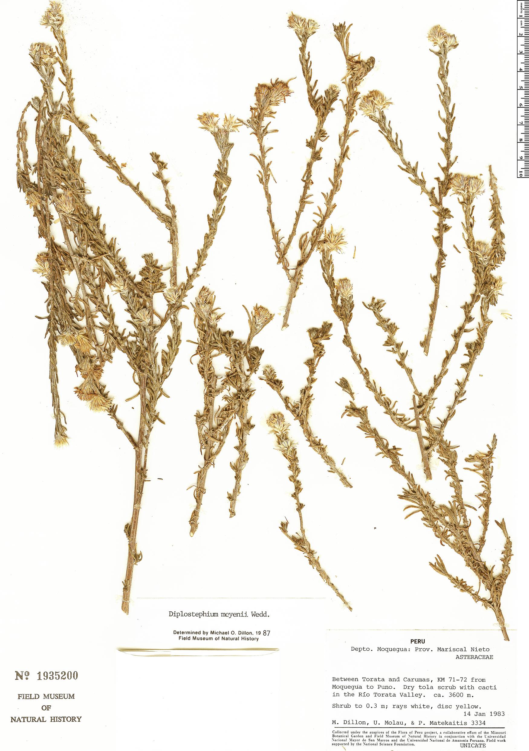 Specimen: Diplostephium meyenii