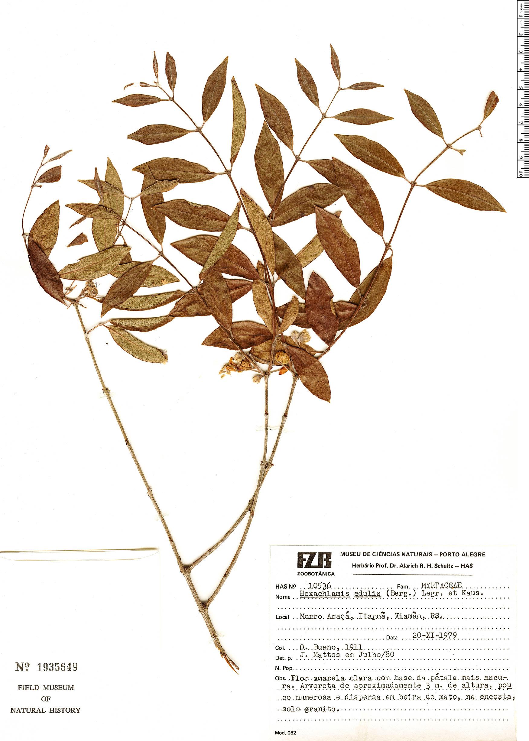 Specimen: Hexachlamys edulis