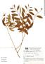 Hexachlamys edulis image