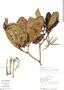 Kutchubaea semisericea Ducke, R. Kayap 1125, F