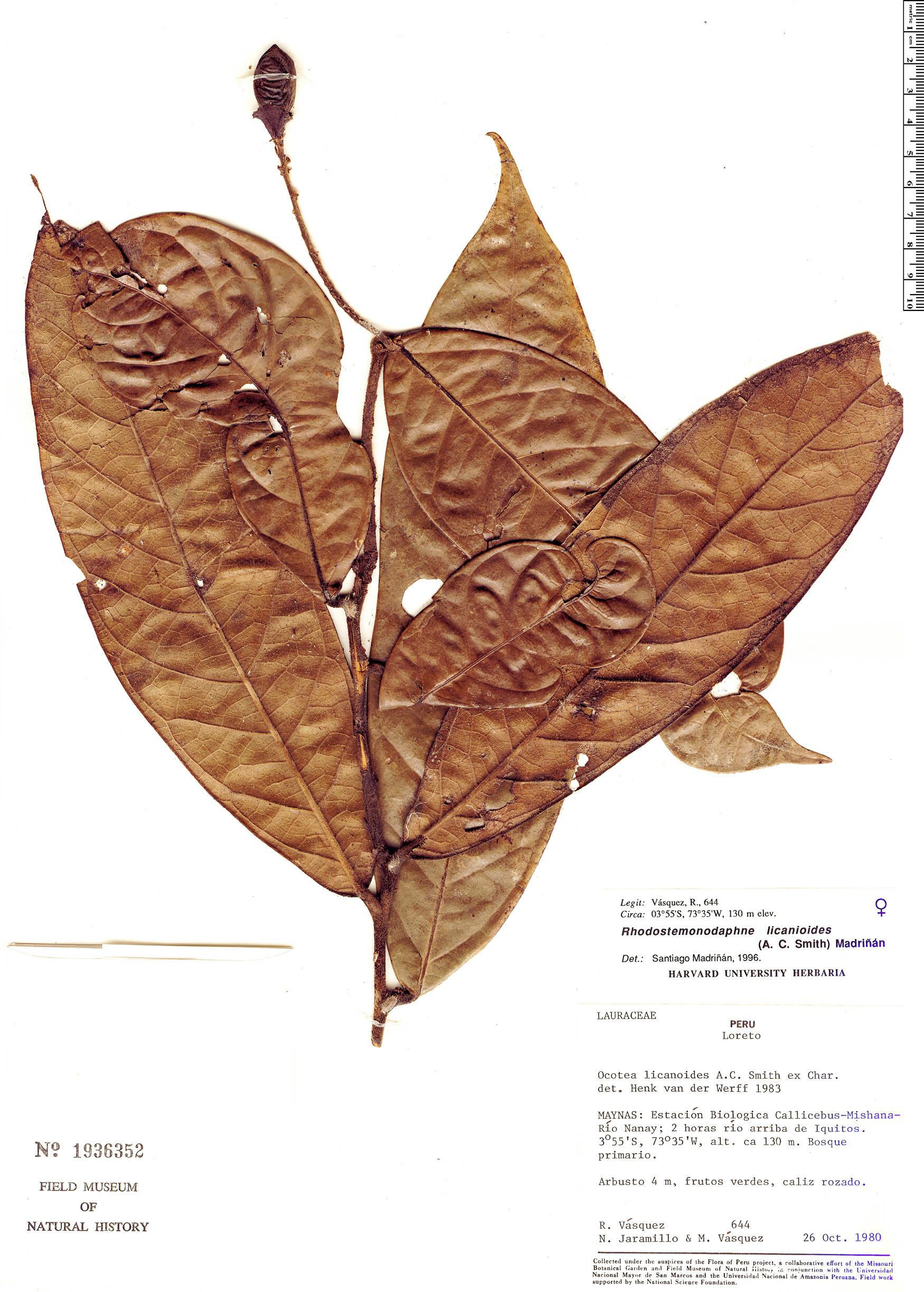 Specimen: Rhodostemonodaphne licanioides