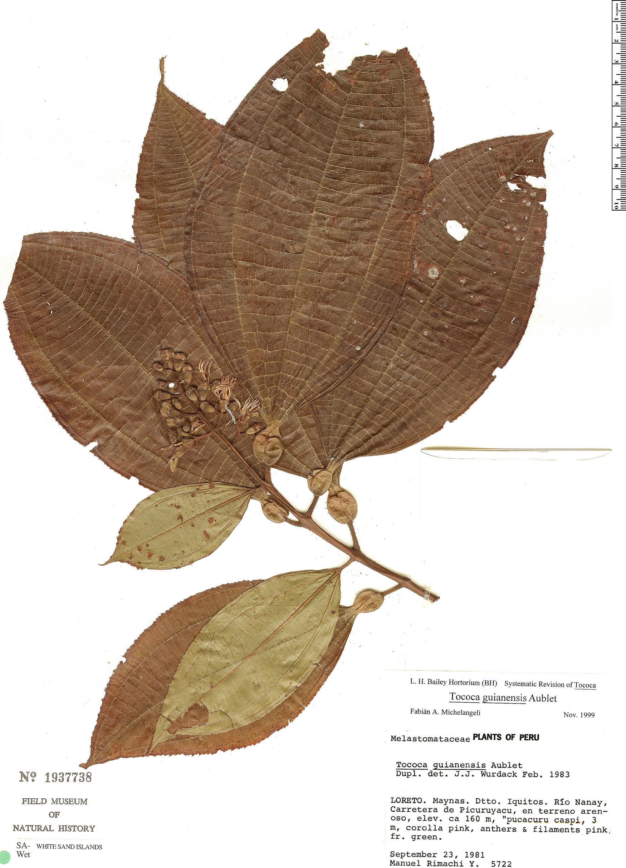 Specimen: Tococa guianensis