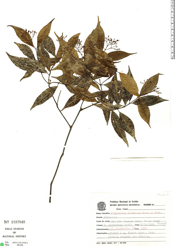 Espécimen: Psychotria leiocarpa
