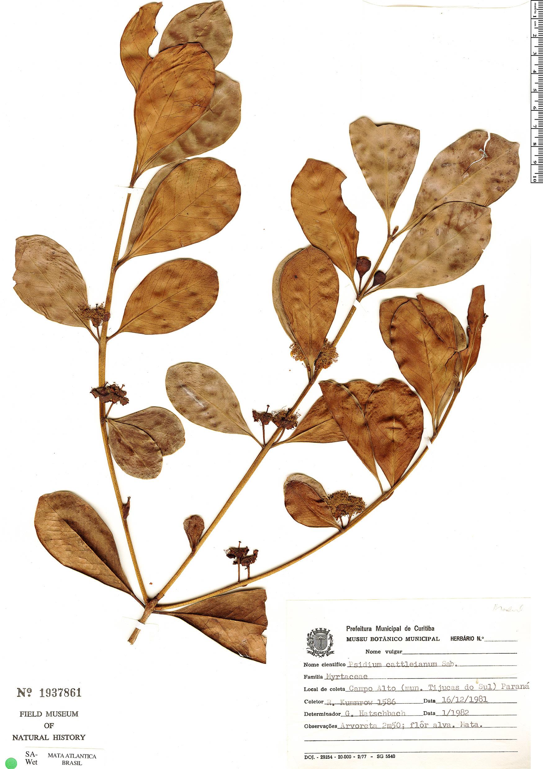 Espécime: Psidium cattleyanum