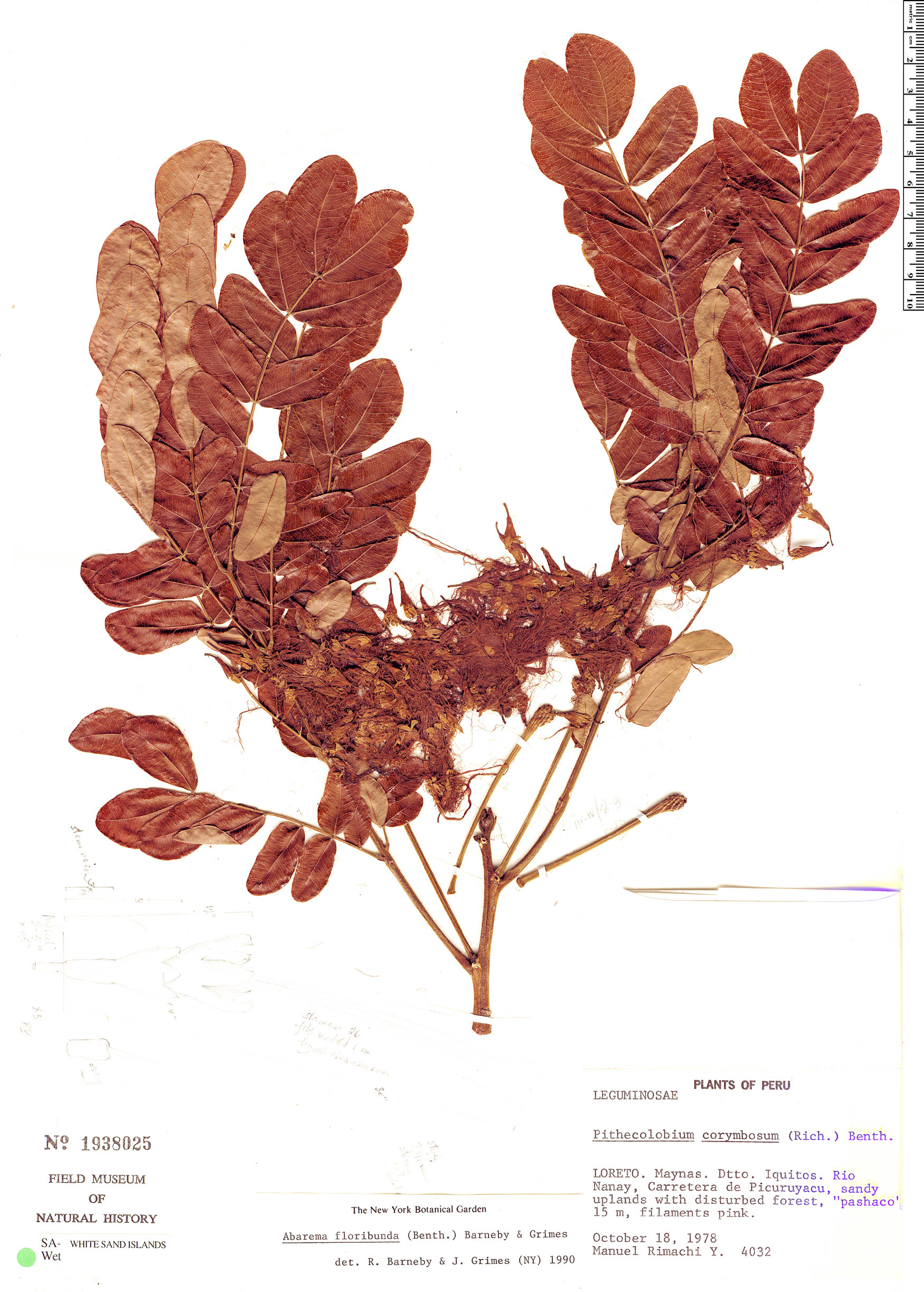 Specimen: Abarema floribunda