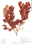 Abarema floribunda image