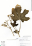 Cnidoscolus urens (L.) Arthur, Costa Rica, J. Gómez-Laurito 10091, F
