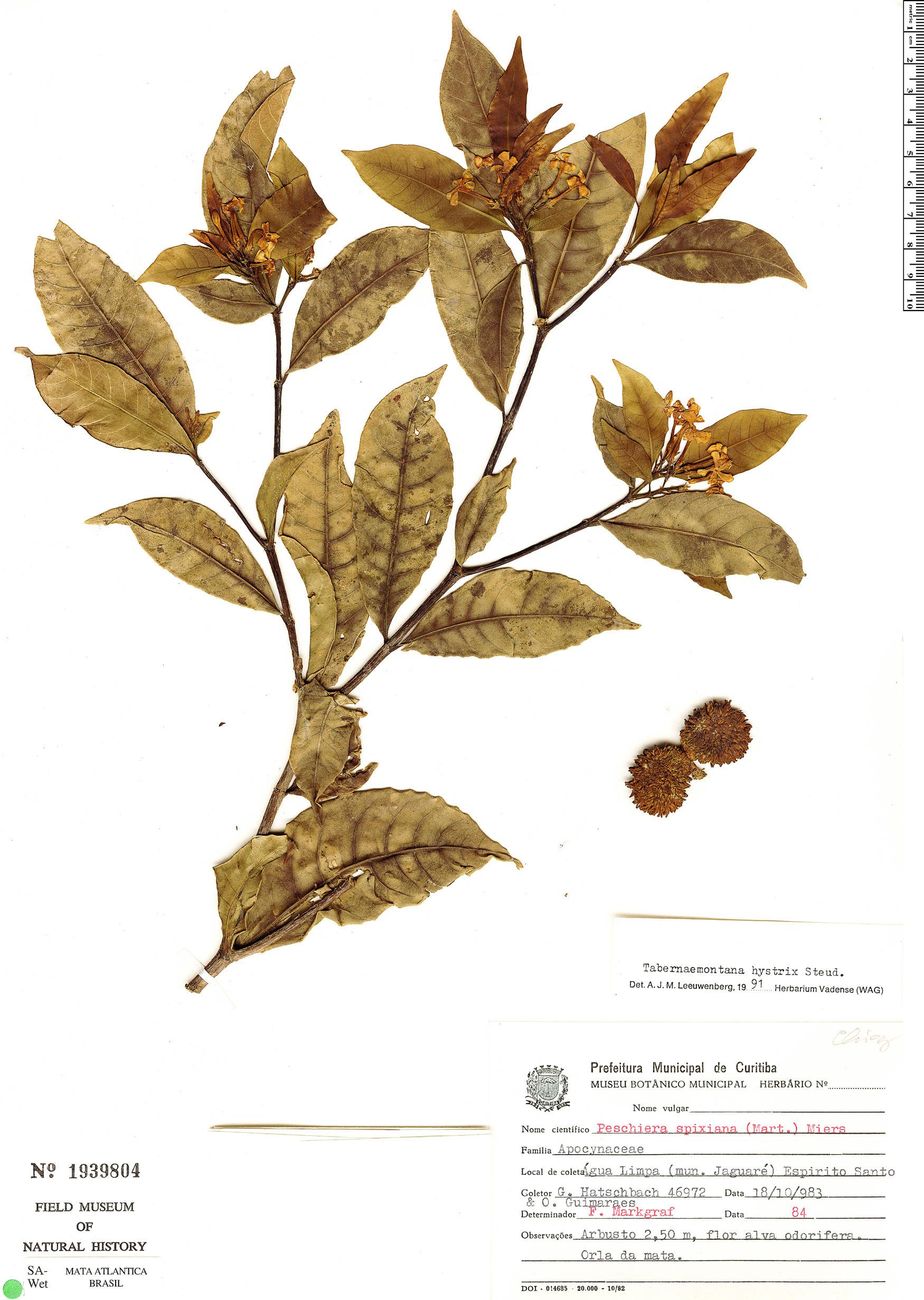 Espécimen: Tabernaemontana hystrix