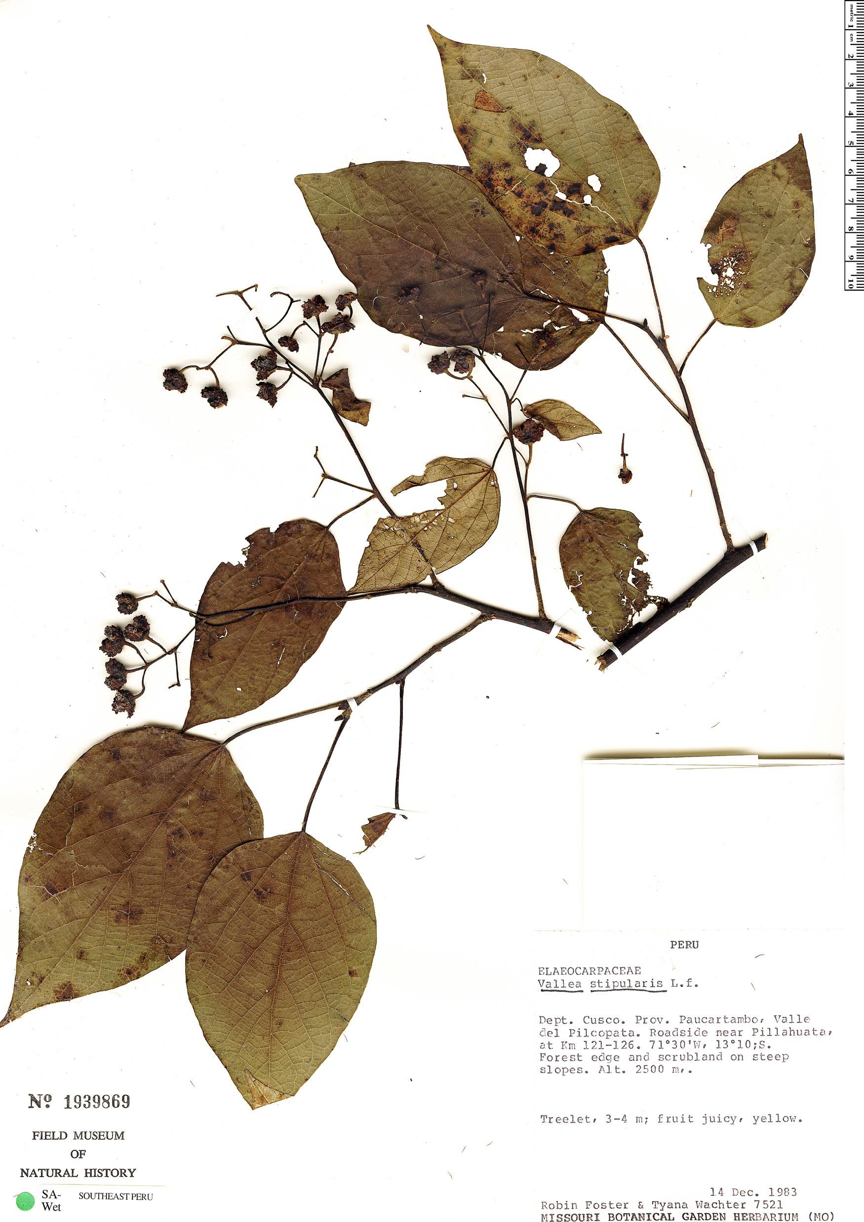 Specimen: Vallea stipularis