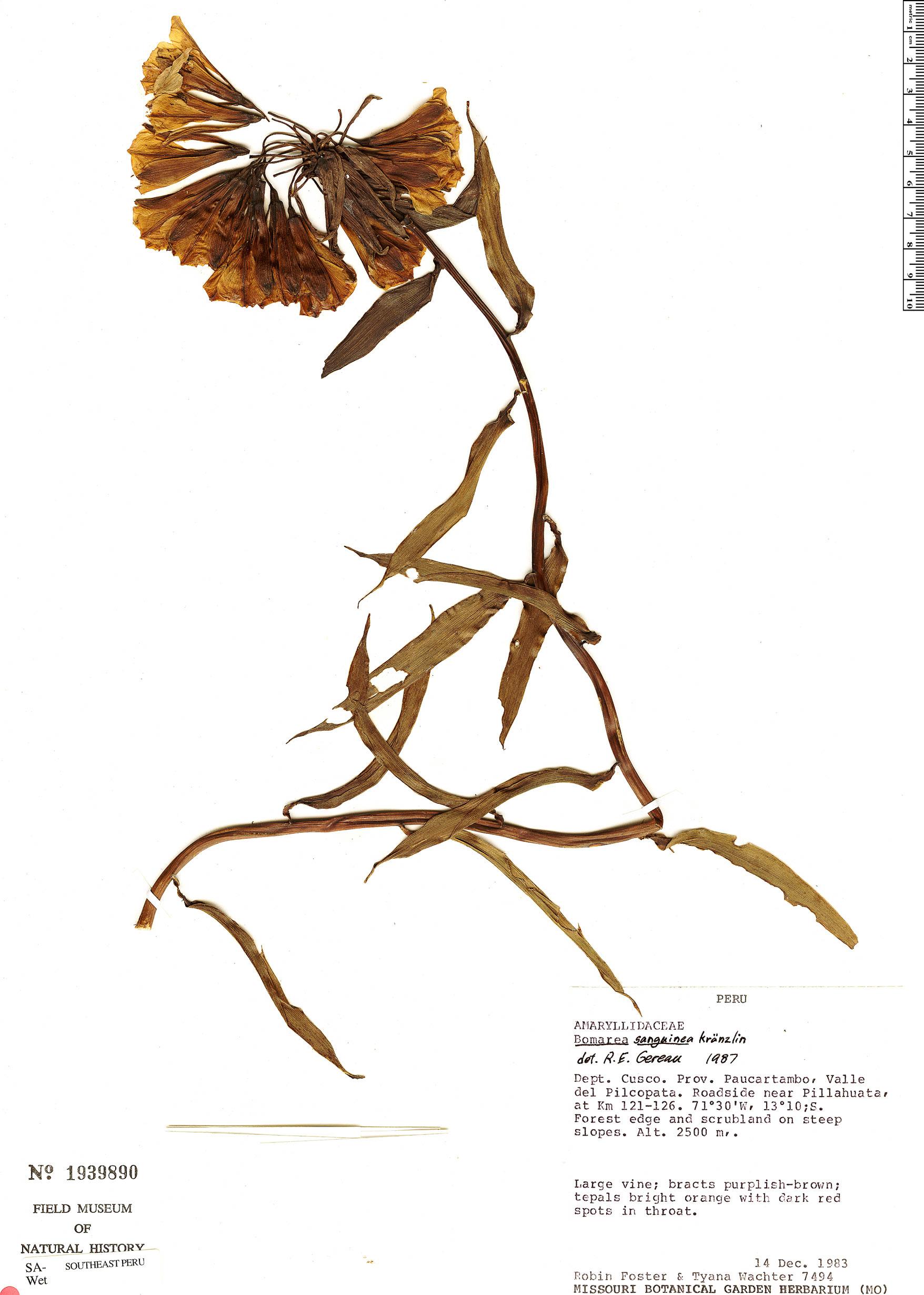 Specimen: Bomarea formosissima