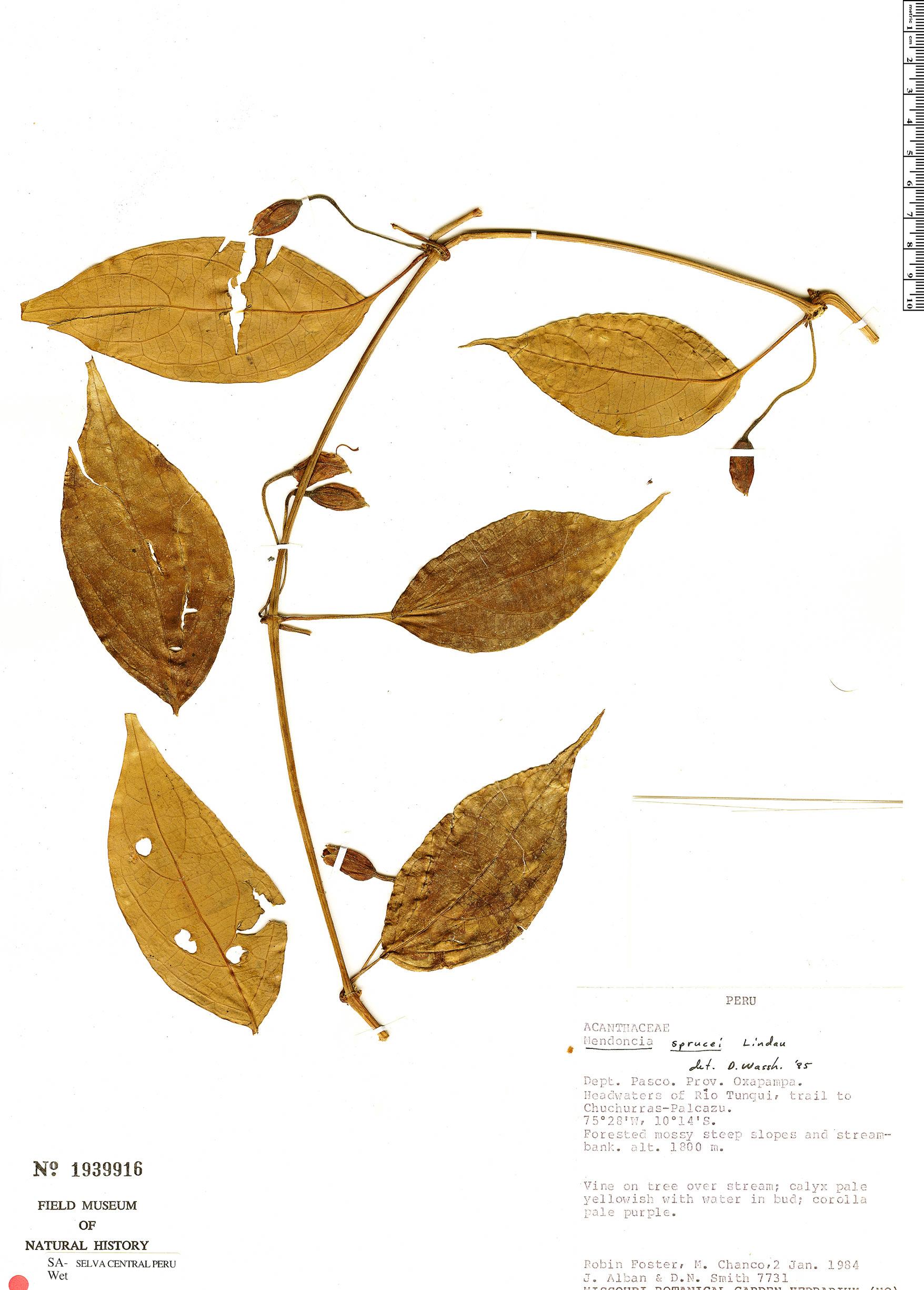 Specimen: Mendoncia sprucei