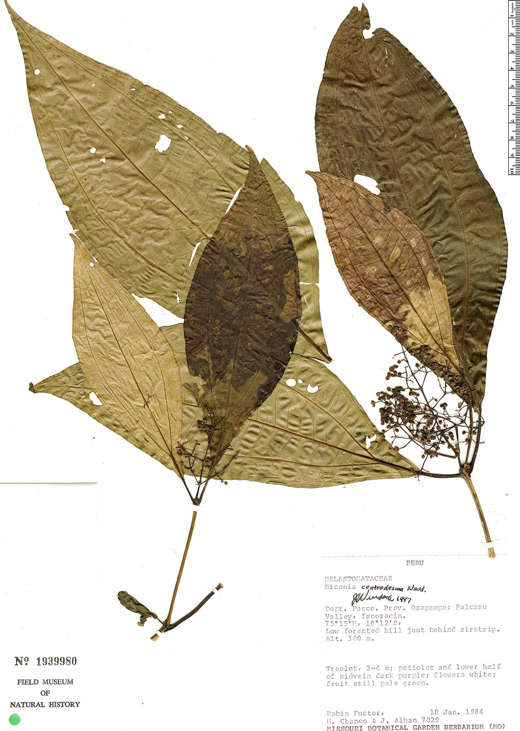 Specimen: Miconia centrodesma