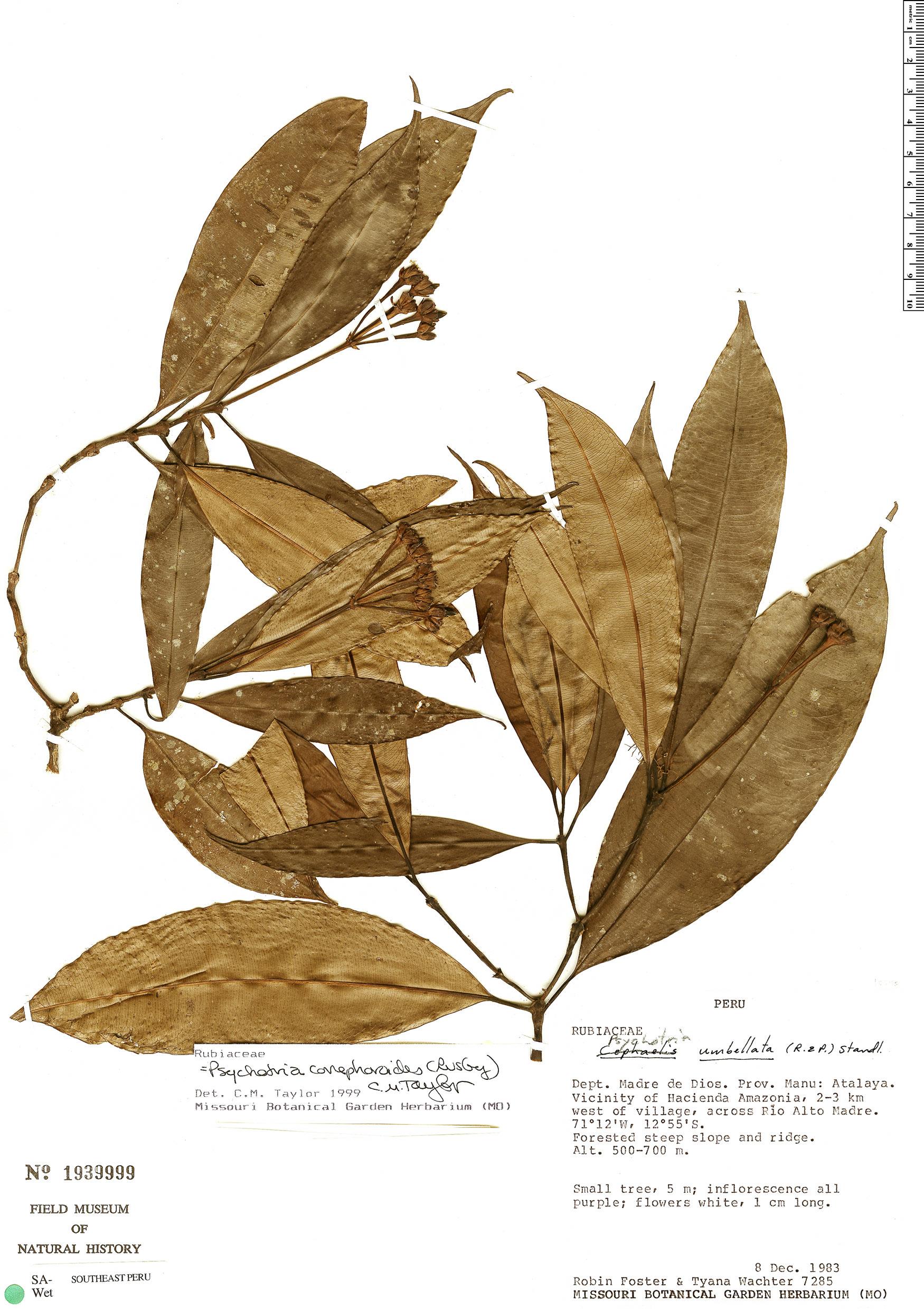 Specimen: Palicourea conephoroides