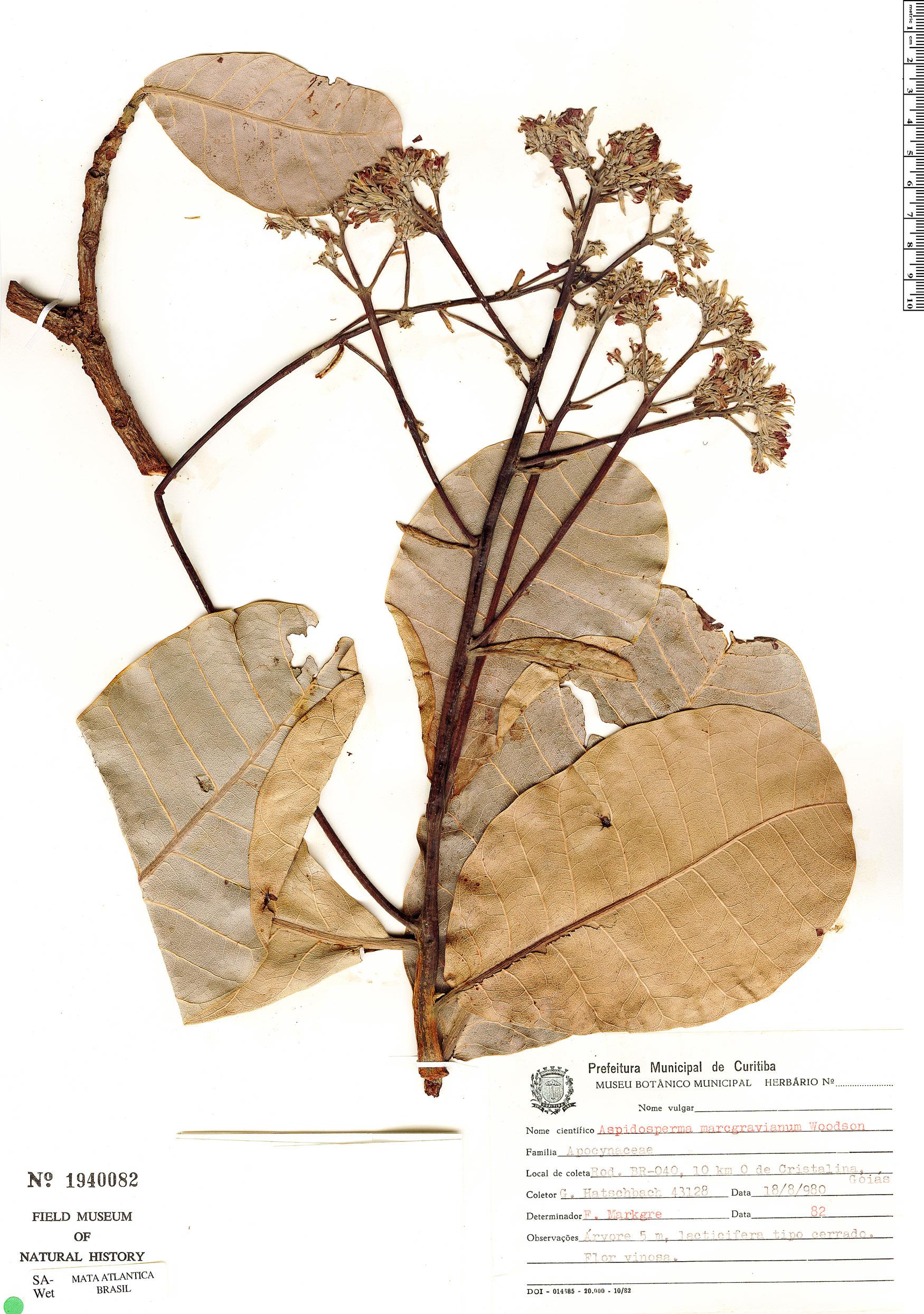 Specimen: Anacardium occidentale