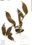 Casearia pitumba Sleumer, Peru, R. B. Foster 9539, F