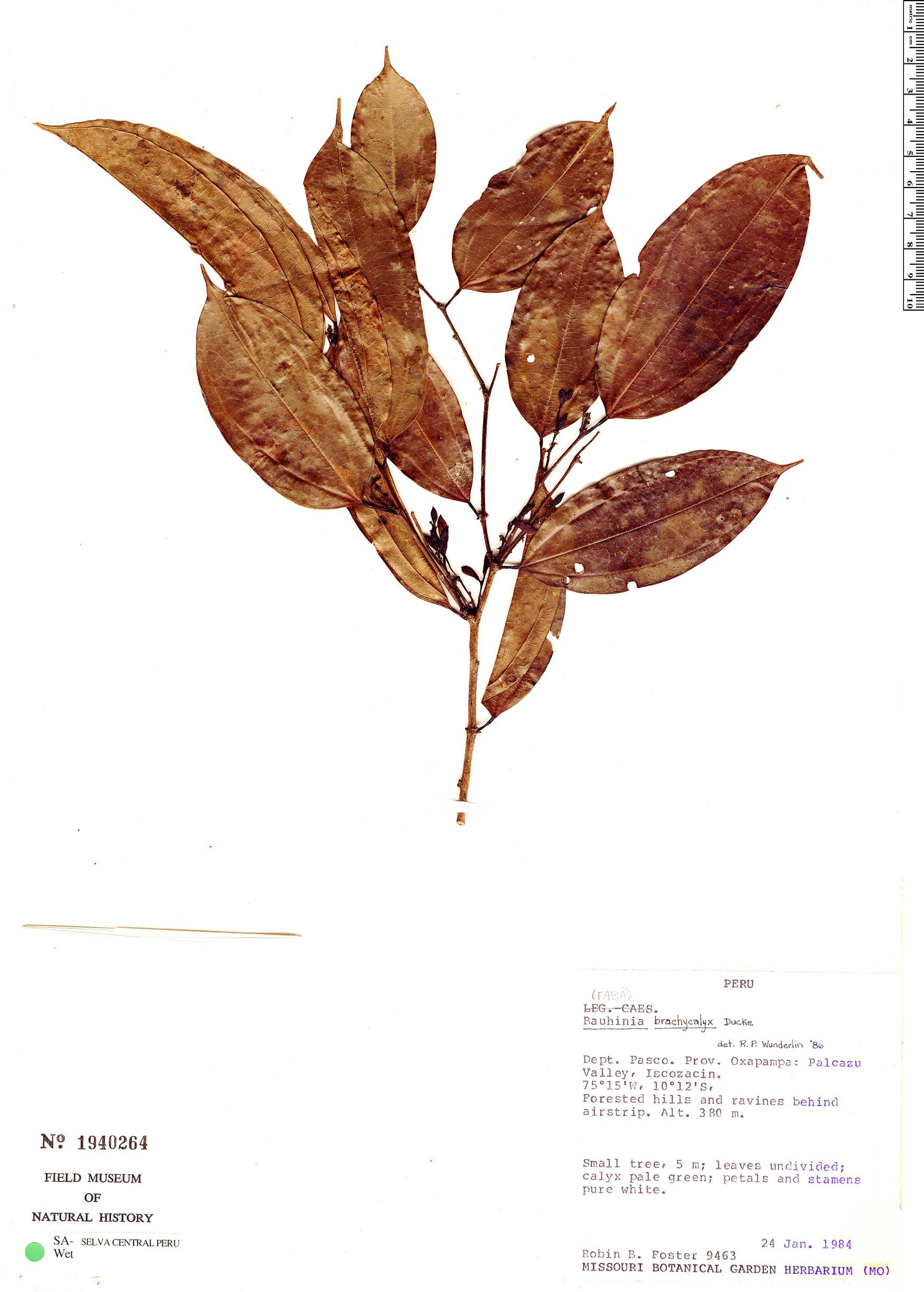 Specimen: Bauhinia brachycalyx