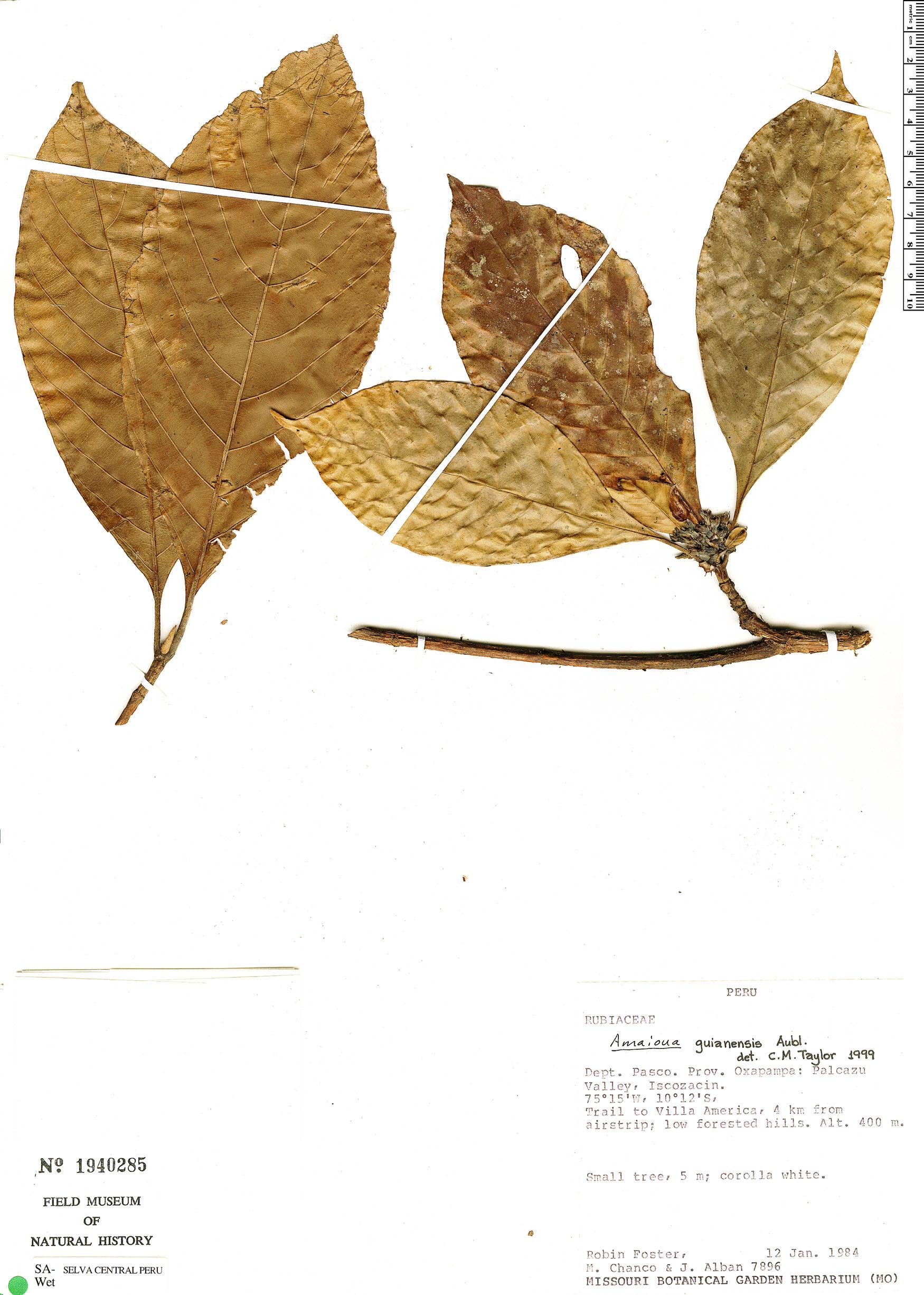 Specimen: Amaioua guianensis