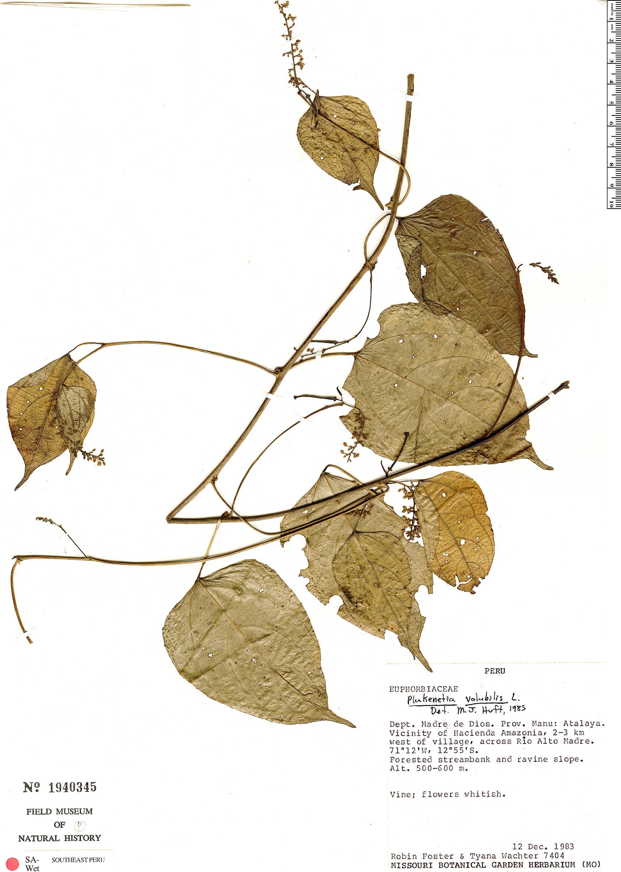 Specimen: Plukenetia volubilis